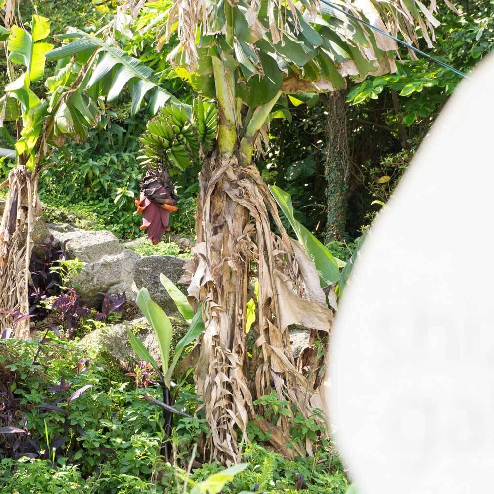屋久島しずくギャラリー横のバナナ