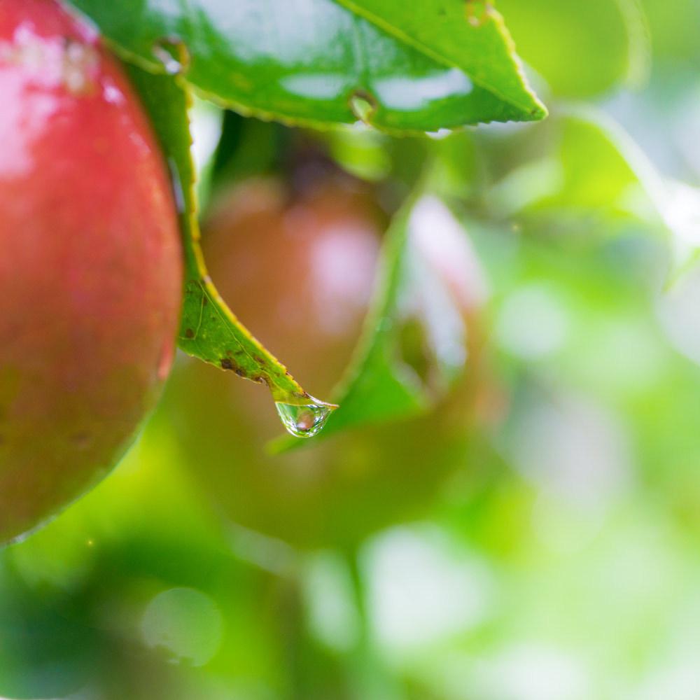 屋久島りんご椿と雨の雫