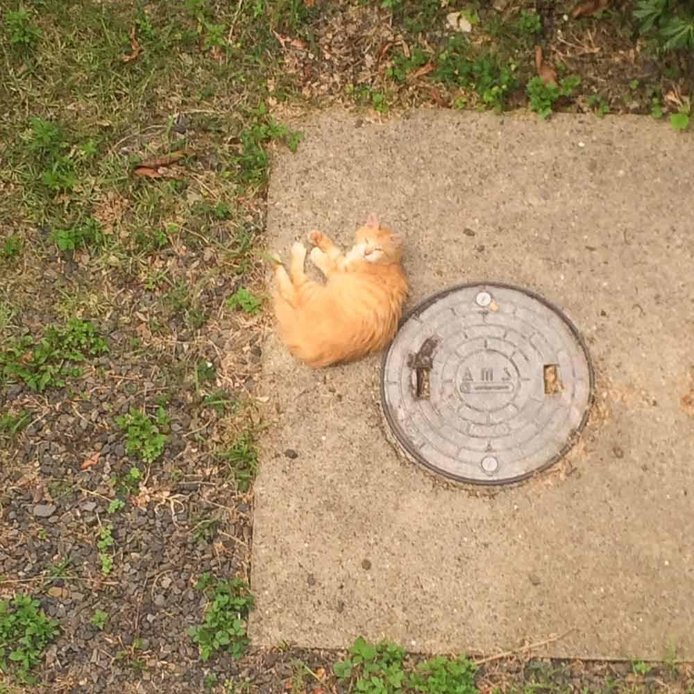 屋久島、猫