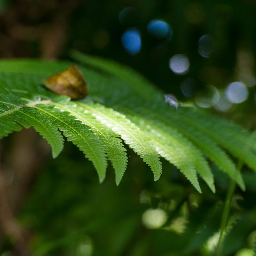 屋久島のシダ、木漏れ日