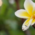 屋久島のプルメリアとプルメリアのネックレス シルバー、サファイア 屋久島の季節を纏う