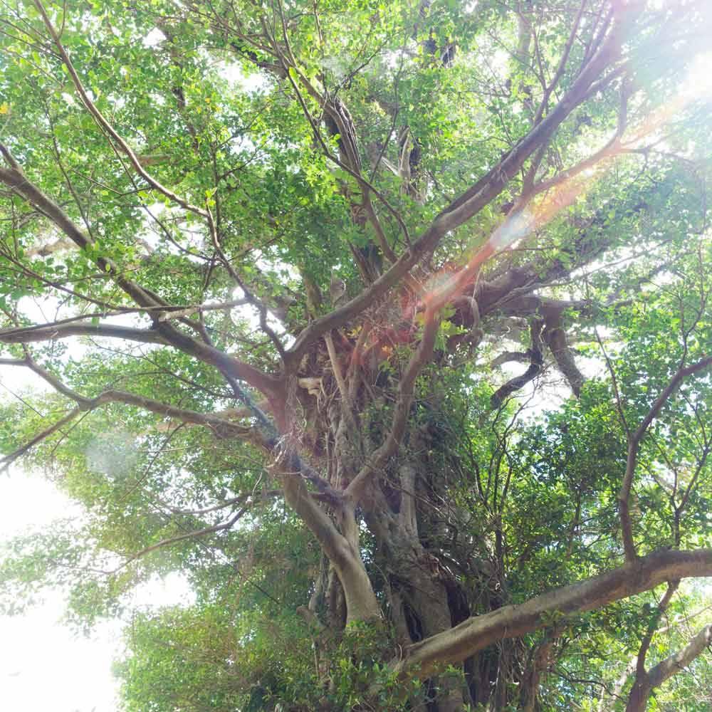 屋久島の木を見上げる