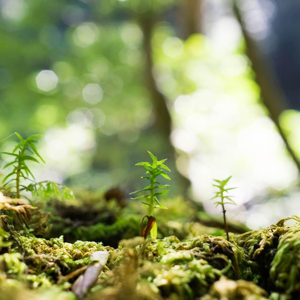 屋久島森の風景 杉の芽