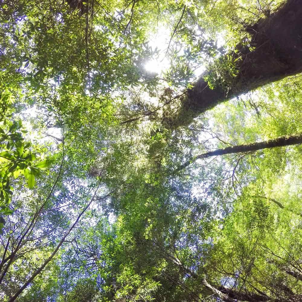屋久島森の風景 木々を見上げる構図