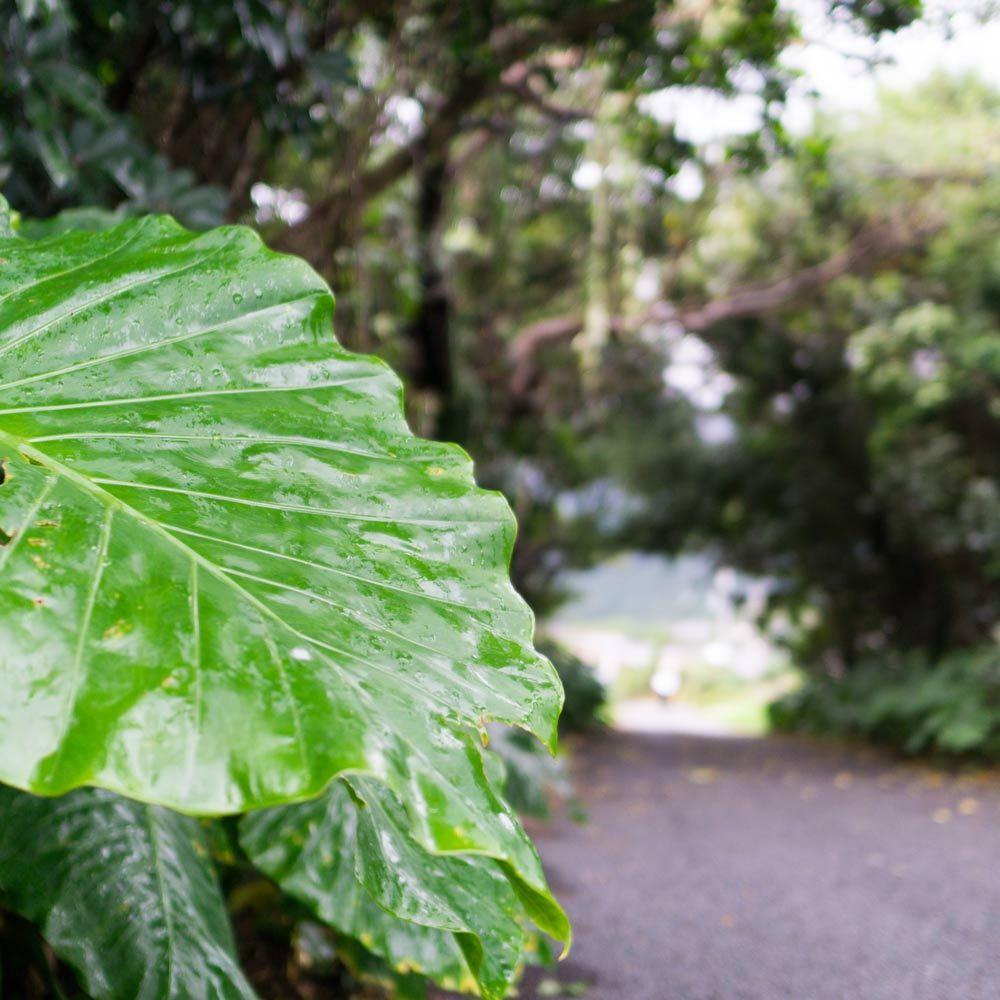 屋久島のクワズイモ
