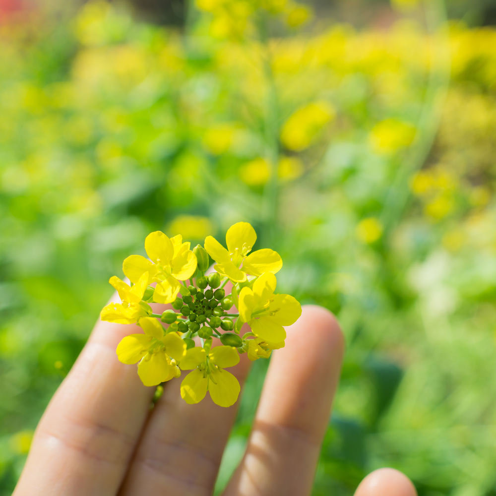 菜の花の季節 #屋久島#日々の暮らし