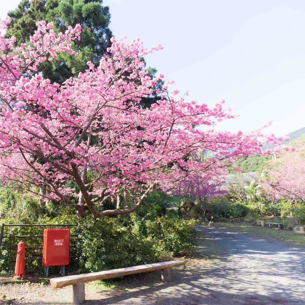 屋久島の桜 公園