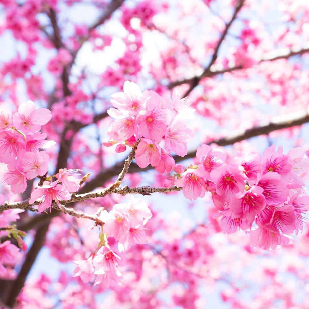 屋久島の桜 より構図