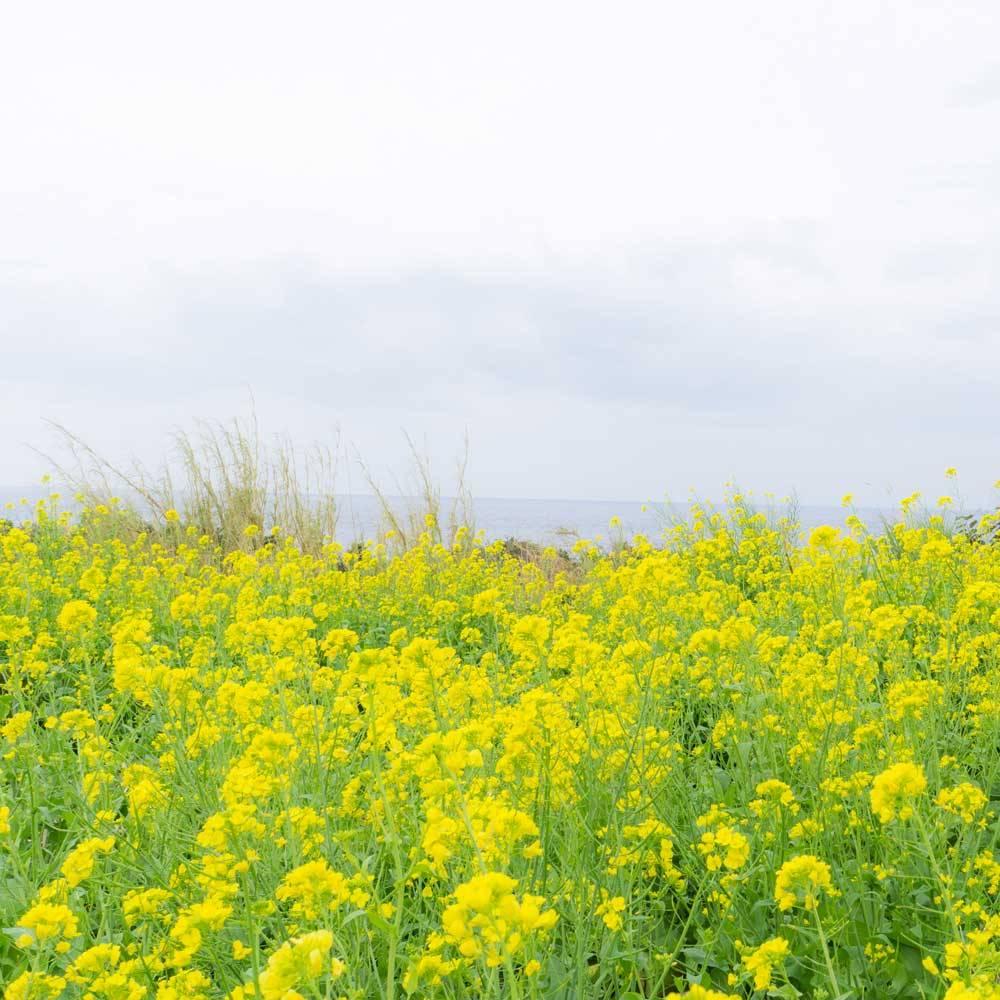 屋久島の菜の花と海
