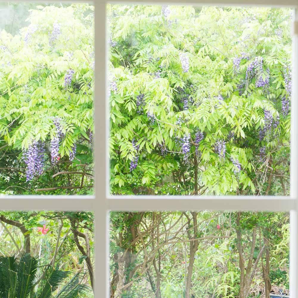 屋久島の藤の花 アトリエにて