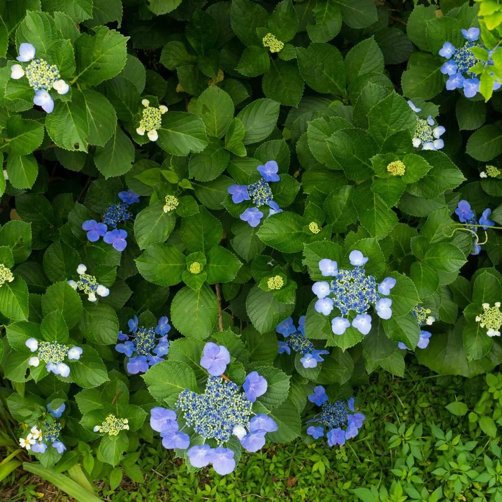 屋久島の紫陽花
