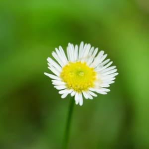 屋久島の小花 雨つぶ