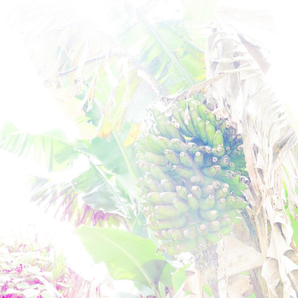 屋久島の島バナナ 見上げ構図 ヒカリ